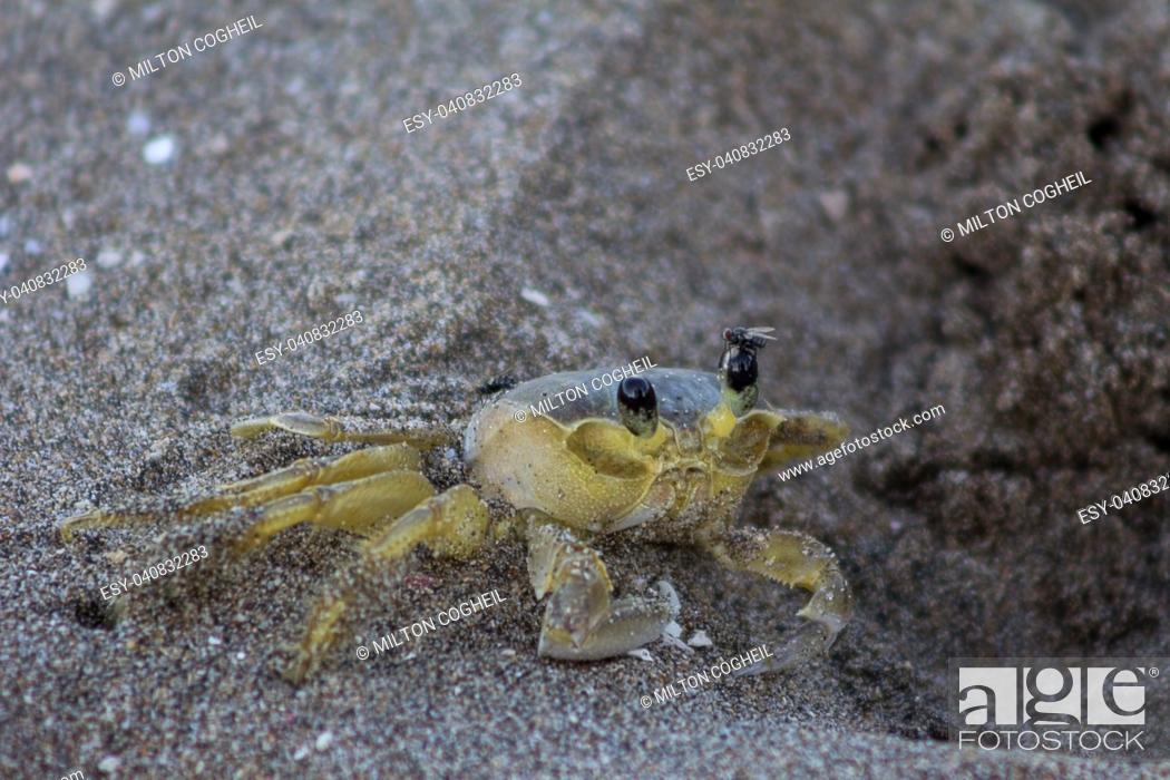 Stock Photo: Atlantic ghost crab (Ocypode quadrata) on Treasure Beach, Jamaica.
