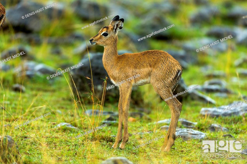 Imagen: Kenya, Masai Mara national reserve, Impala (Aepyceros melampus), young.