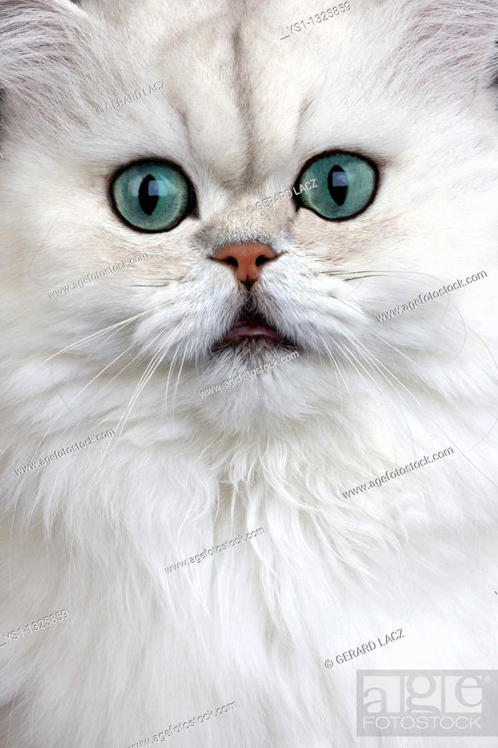 Stock Photo: CHINCHILLA PERSIAN CAT, PORTRAIT OF ADULT WITH GREEN EYES.