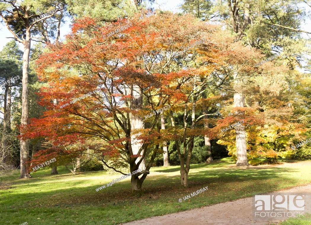 Imagen: Japanese maple trees in autumn colour, Acer Palmatum, National arboretum, Westonbirt arboretum, Gloucestershire, England, UK.