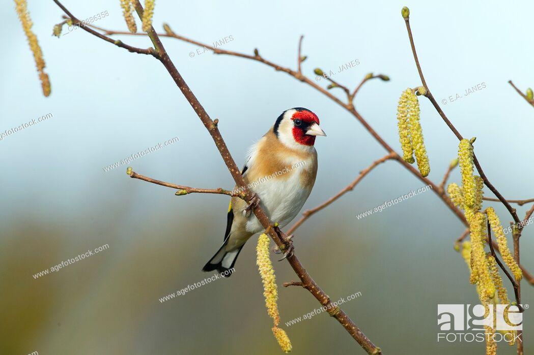 Stock Photo: Goldfinch Carduelis carduelis on hazel catkins.