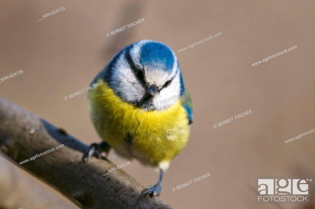 Stock Photo: Blue tit (Parus caeruleus), sitting on a branch, Franconian Switzerland, Bavaria, Germany.