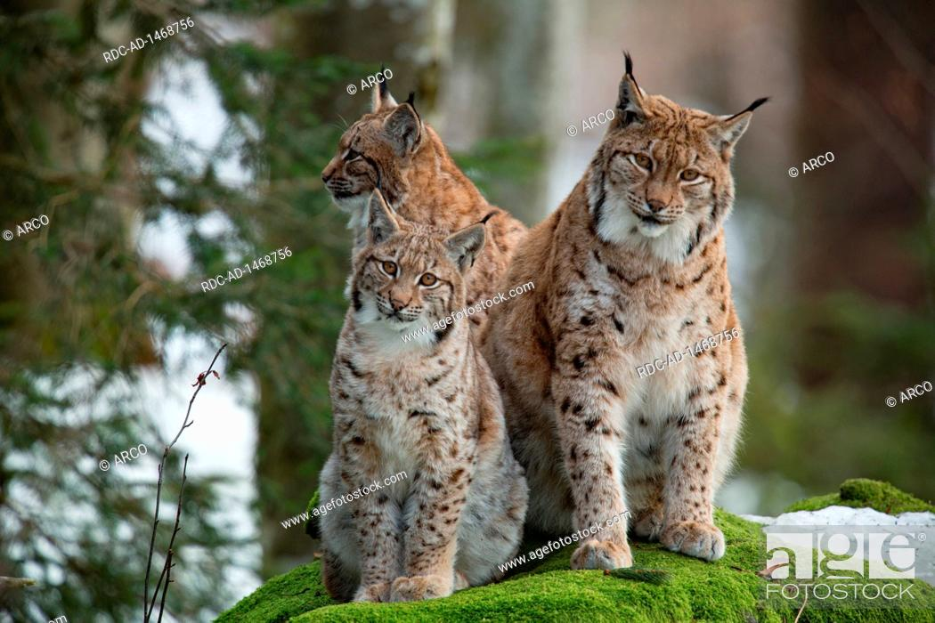 Eurasian lynx with cubs, Lynx lynx, Stock Photo, Picture And Rights