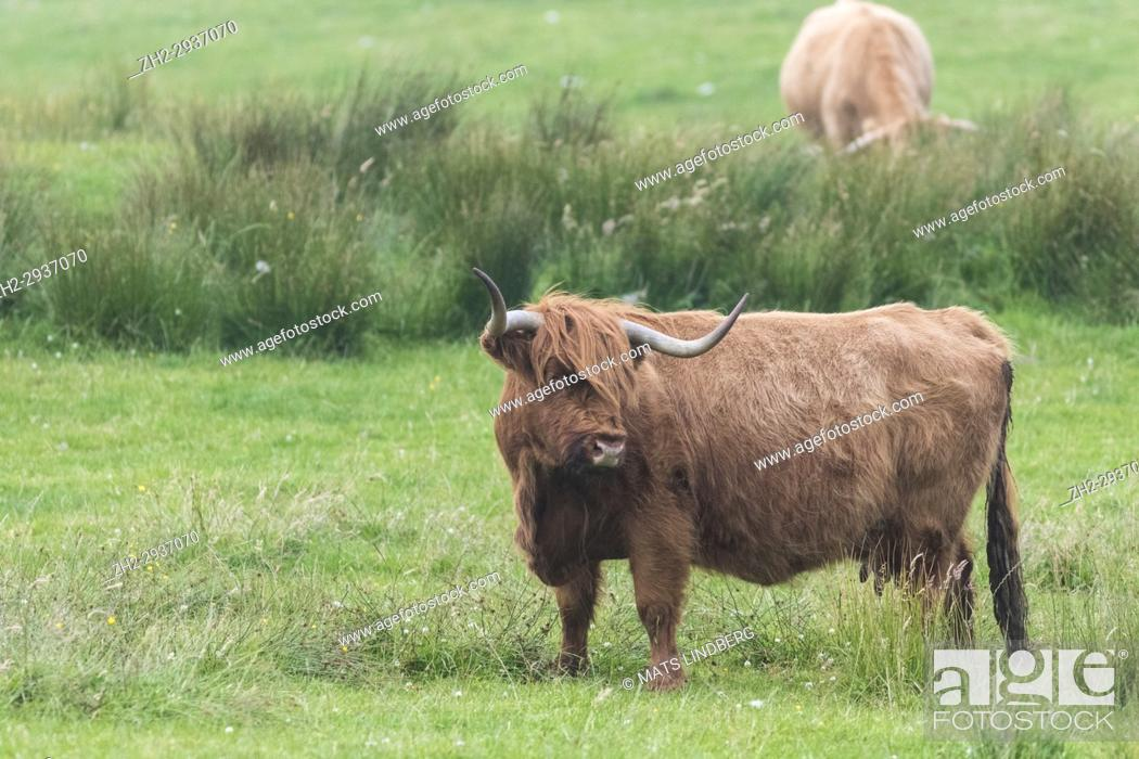 Stock Photo: Highland cattle standing and turning the head away from the camera, Islay, Scotland.