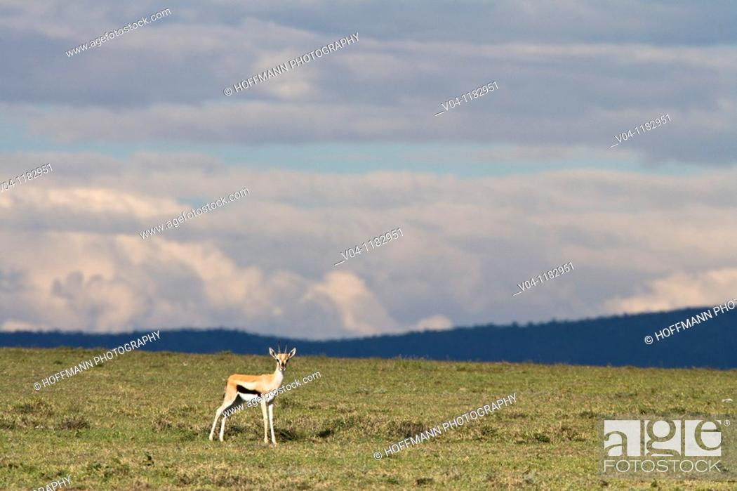 Stock Photo: A single Thomsons gazelle (Gazella thomsoni) looking at the camera on the plains of the Serengeti National Park in Tanzania, Africa.