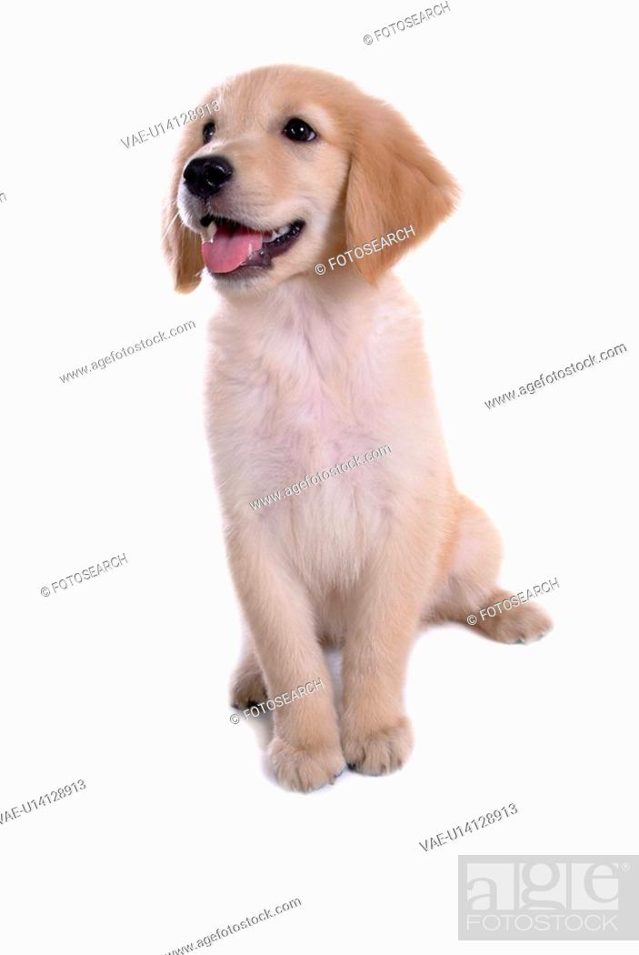 Stock Photo: canine, domestic animal, closeup, close up, looking up, companion, golden retriever.