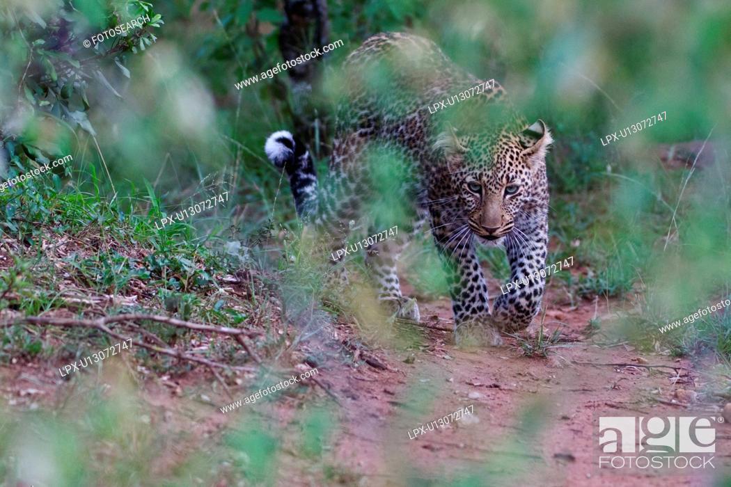 Stock Photo: Adult male leopard walking toward viewer in woodland, frontal close up, Masai Mara, Kenya, East Africa.