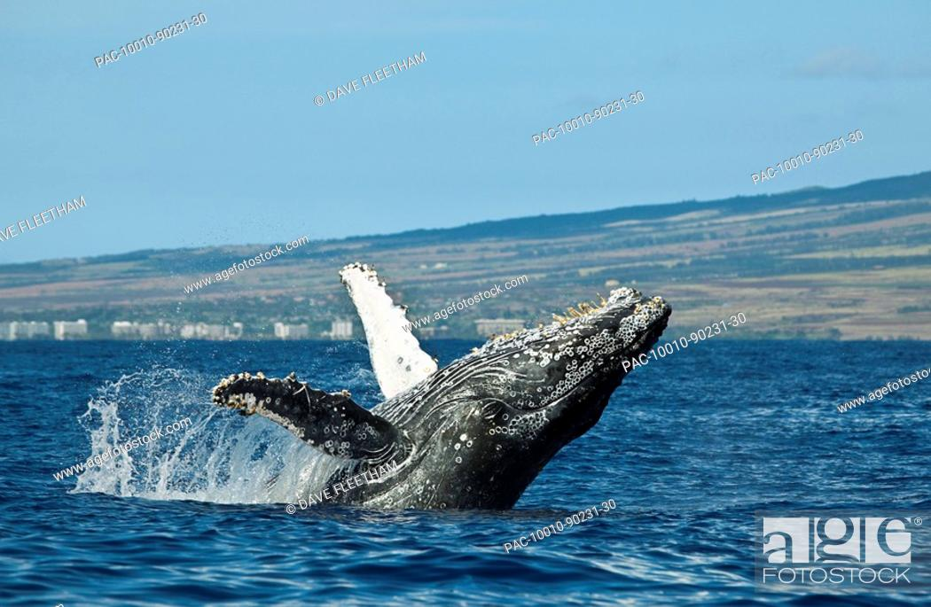 Stock Photo: Hawaii, Maui, Humpback Whale Megaptera novaeangliae breaching off shore.