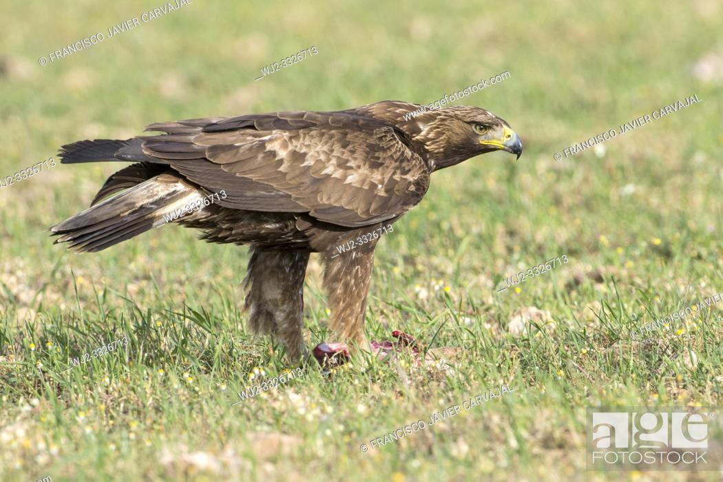 Imagen: Golden eagle (Aquila chrysaetos) eating its prey, Extremadura, Spain.