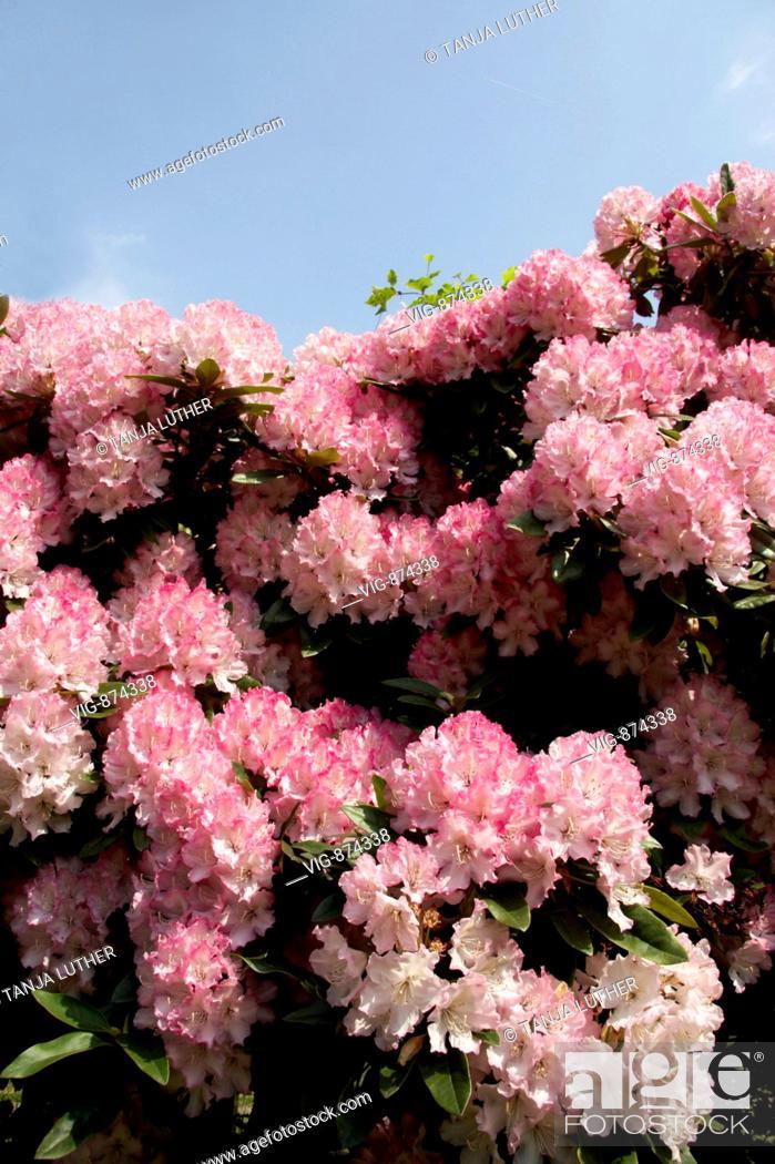 Stock Photo: GERMANY, HAMBURG, 15.05.2008, Rhododendron blossoms. - HAMBURG, GERMANY, 15/05/2008.