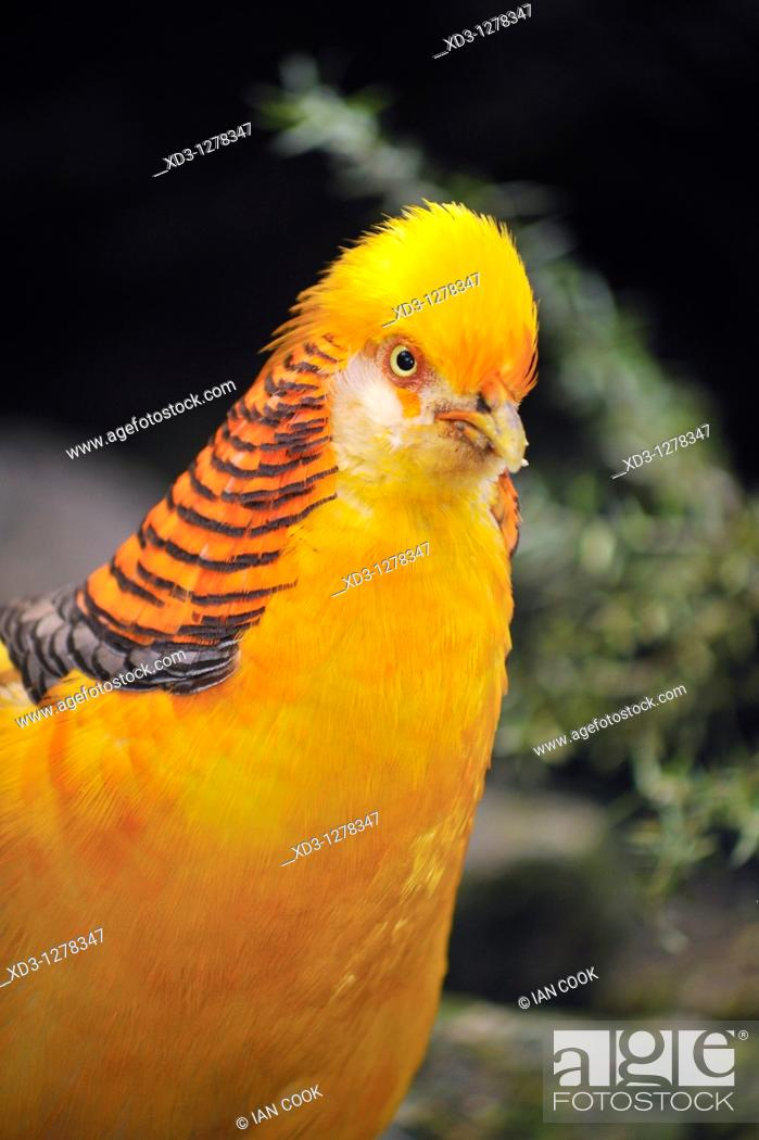 Stock Photo: Golden Pheasant or Chinese Pheasant Chrysolophus pictus, Bloedel Conservatory, Queen Elizabeth Park, Vancouver, British Columbia, Canada.