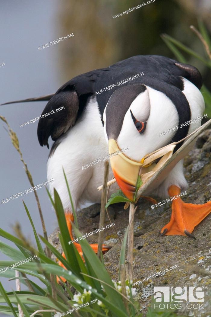 Stock Photo: Horned Puffin gathering nest material to line its burrow, Saint Paul Island, Pribilof Islands, Bering Sea, Southwest Alaska.