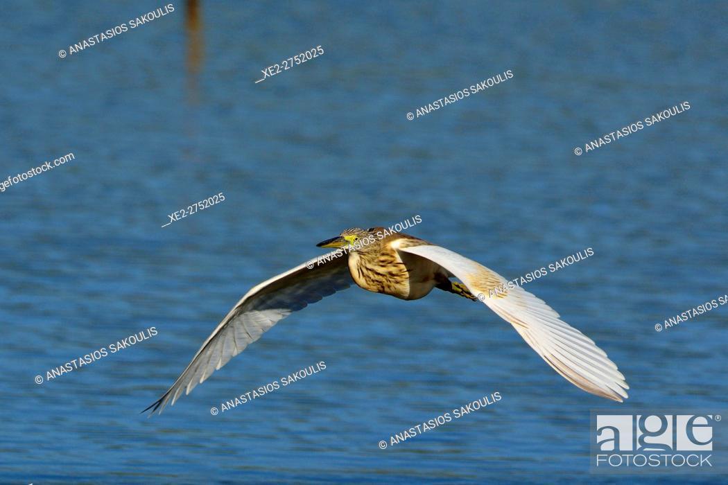 Imagen: Squacco Heron - Ardeola ralloides, Crete.