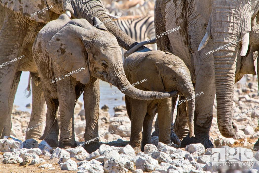Stock Photo: African elephant Loxodonta africana, young elephant after a mud bath touches its younger sibling with its trunk, Namibia, Etosha National Park, Okaukuejo.