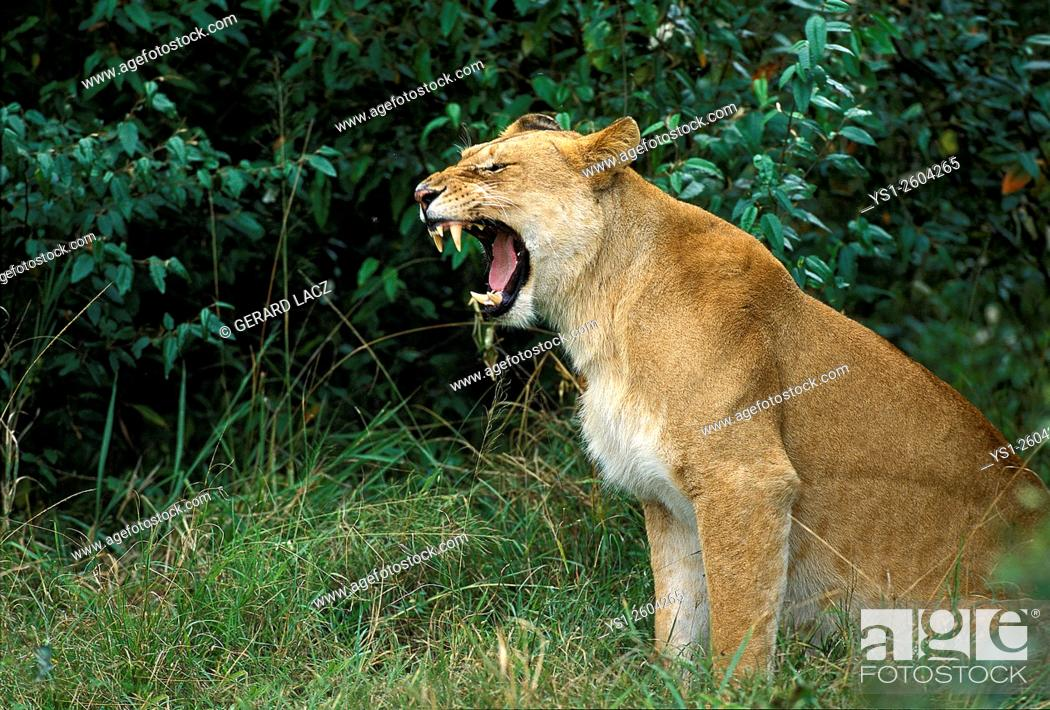 Stock Photo: African Lion, panthera leo, Female Yawning, Kenya.