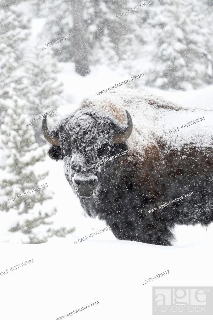 Stock Photo: American bison / Amerikanischer Bison ( Bison bison ) in winter, old bull covered with snow during heavy snowfall, Yellowstone, Wyoming, USA. .