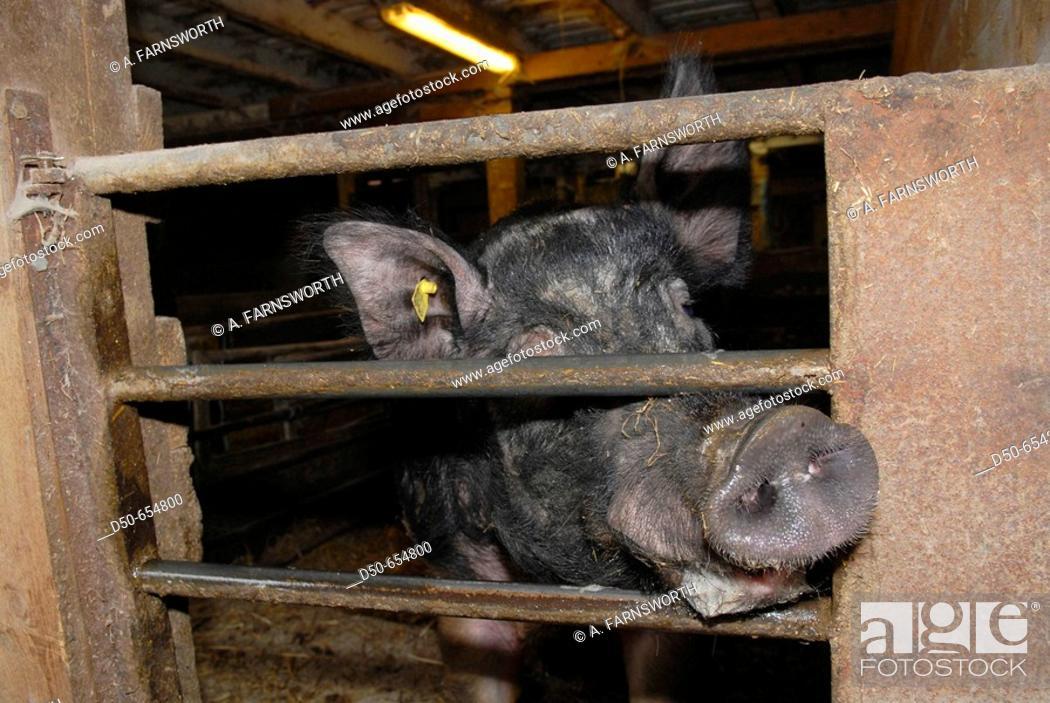 Stock Photo: Motala, Sweden. Pig farm. Pig's nose. Livestock. Animals. Bacon. Close up.