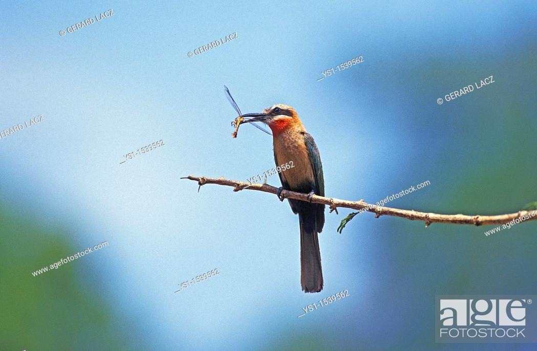 Stock Photo: White Fronted Bee Eater, merops bullockoides, Adult standing on Branch, Eating Dragonfly, Kenya.