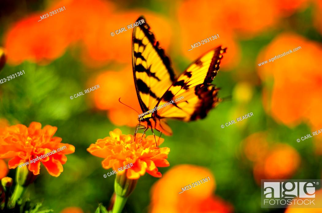 Stock Photo: An orange world surrounds a swallowtail butterfly in soft-focus, Pennsylvania, USA.