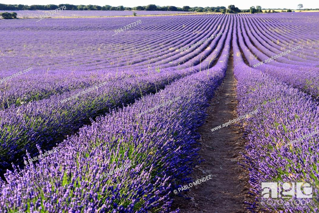 Stock Photo: Lavender fields in Villaviciosa de Tajuña, near Brihuega, Guadalajara, Spain.