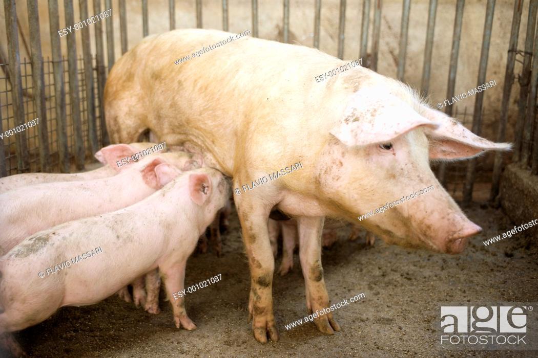 Stock Photo: pig feeding her Piglets.