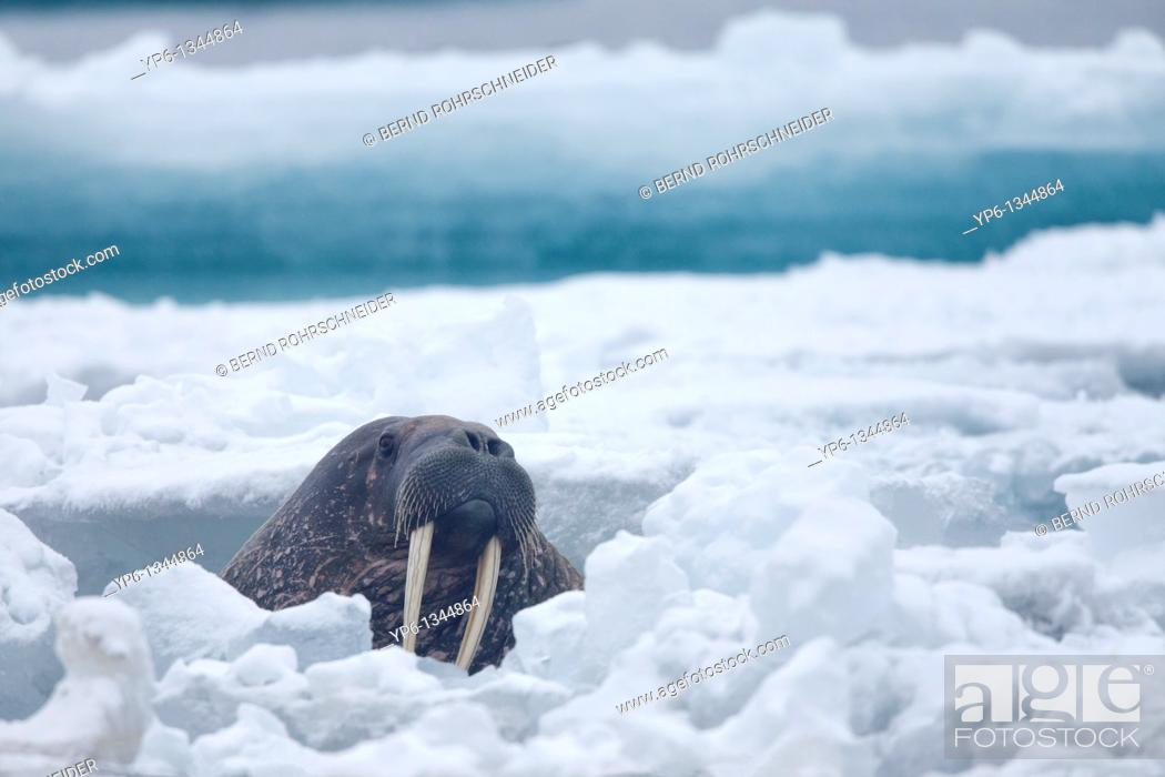 Stock Photo: Walrus, Odobenus rosmarus, swimming between ice floes in Arctic Sea, Spitsbergen, Svalbard.