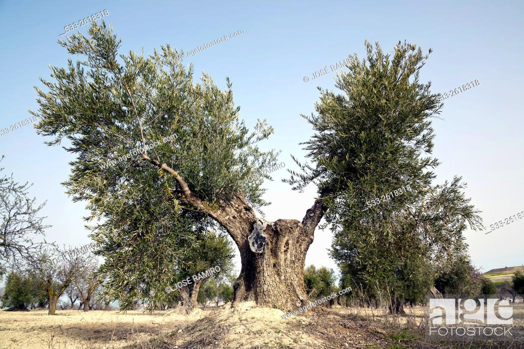 Stock Photo: Olive tree in Valdeciervos. Pinto. Madrid. Spain. Europe.