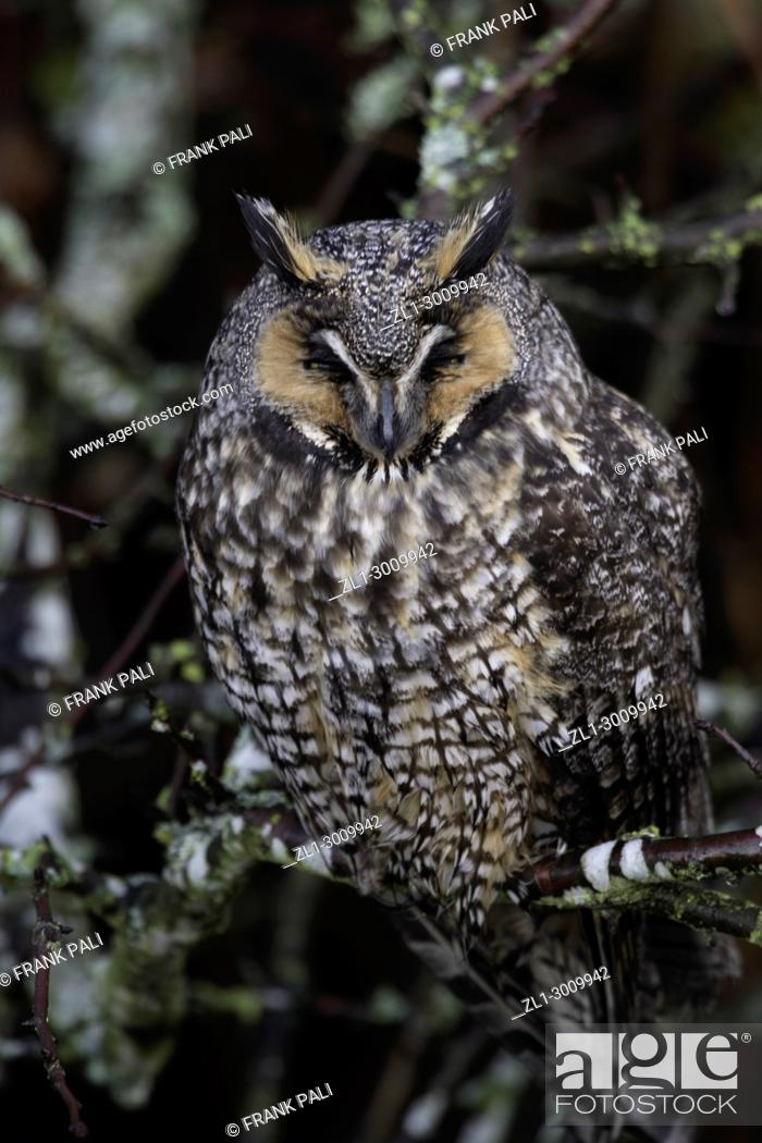 Stock Photo: The long-eared owl, also known as the northern long-eared owl, is a species of owl which breeds in Europe, Asia, and North America.