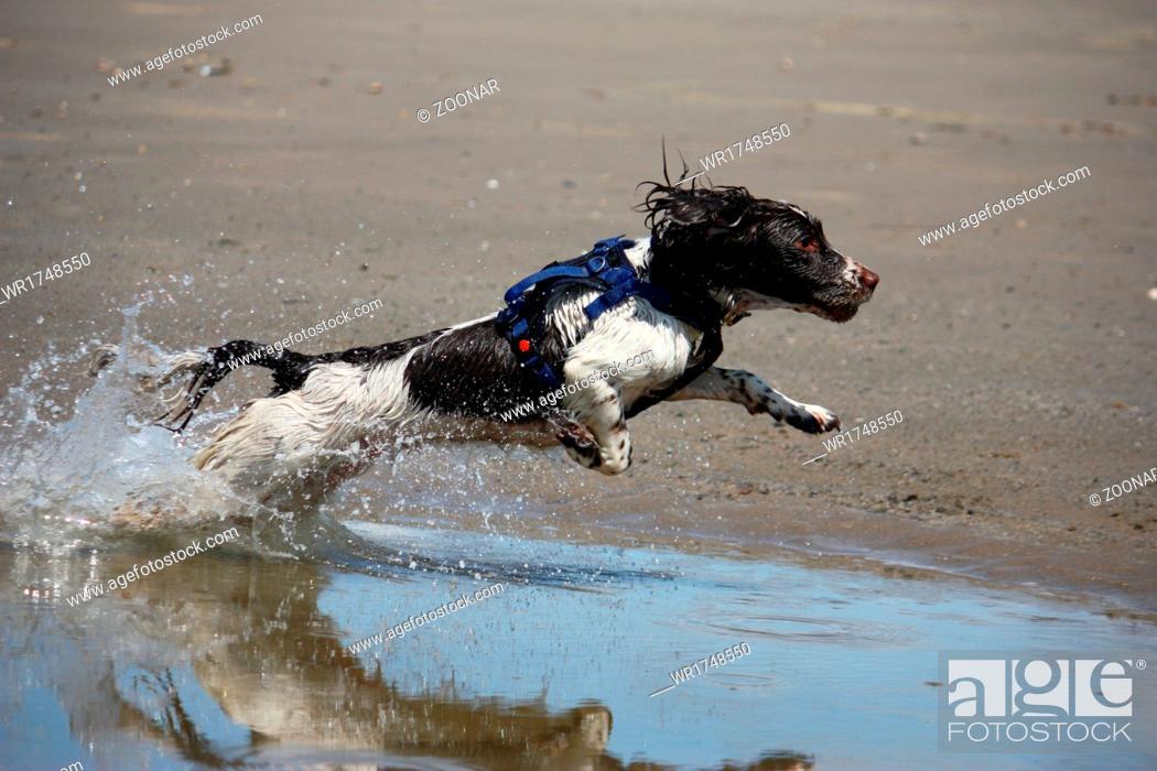 Stock Photo: working type english springer spaniel jumping.