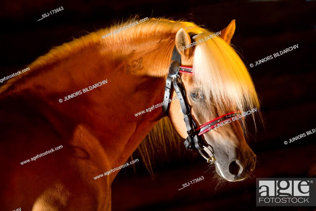 Stock Photo: Haflinger Horse. Portrait of the stallion Atlas with halter seen against a black background.