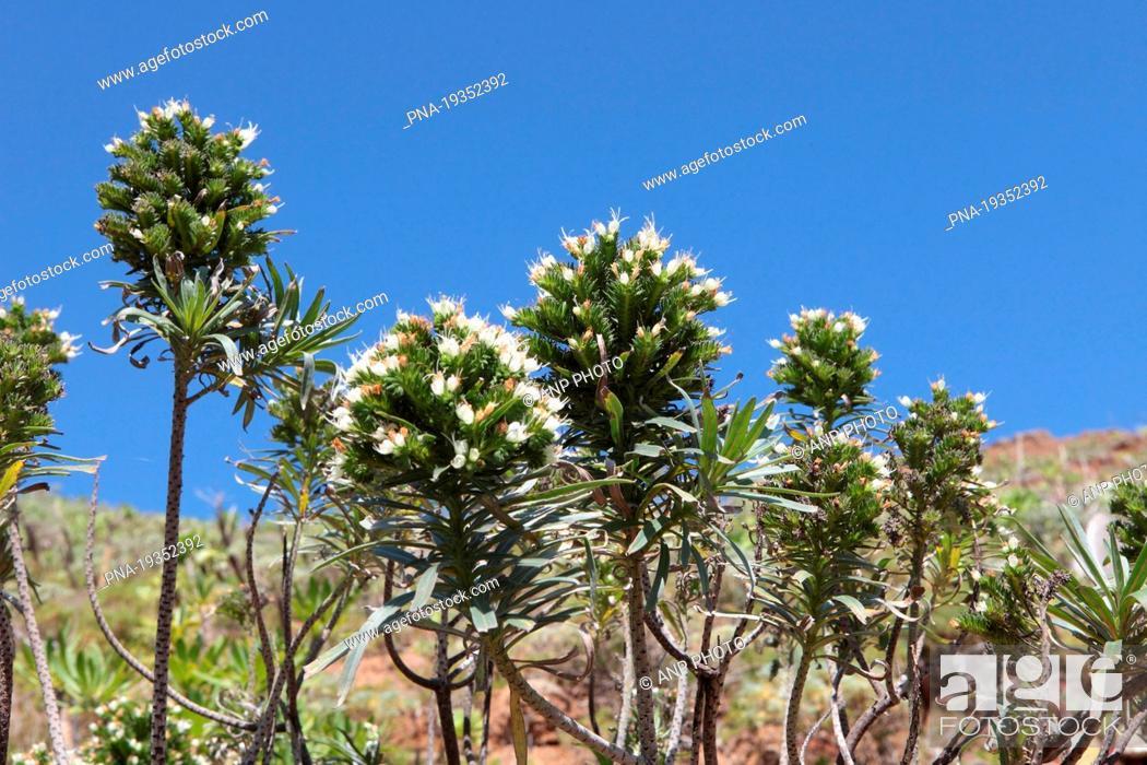 Stock Photo: Tower of Jewels Echium wildpretii - Tenerife, Canary Islands, Spain, Europe.