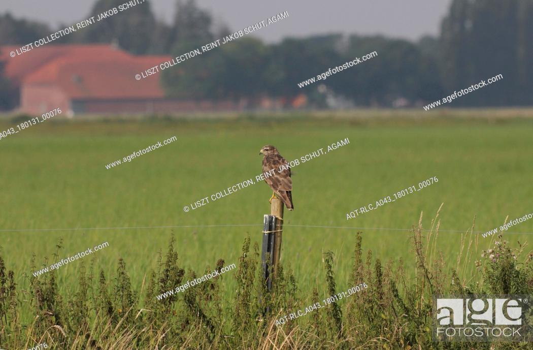 Stock Photo: Common Buzzard perched on pole, Common Buzzard, Buteo buteo.