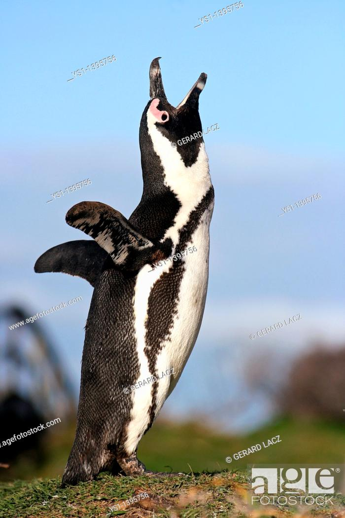Stock Photo: Jackass Penguin or African Penguin, spheniscus demersus, Adult calling out, Betty's Bay in South Africa.