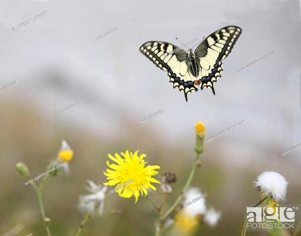 Stock Photo: Swallowtail Papilio machaon. Navelso, Smaland, Sweden.