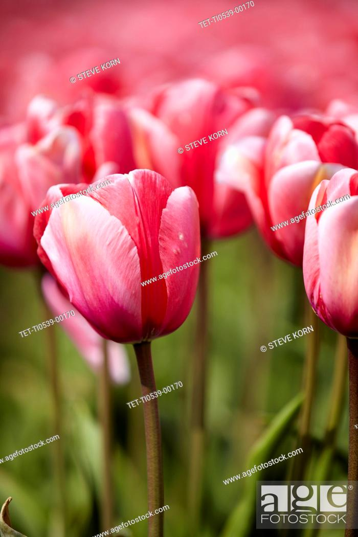 Stock Photo: Close-up of pink tulip in field.