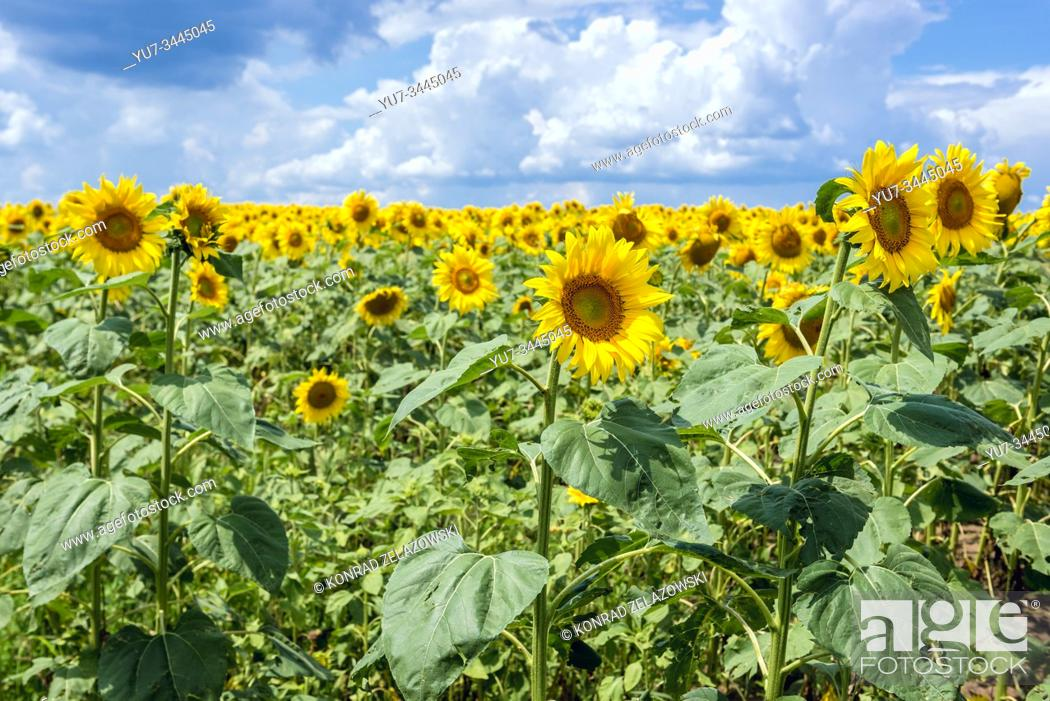 Stock Photo: Large field of sunflowers in Riscani District of Moldova.