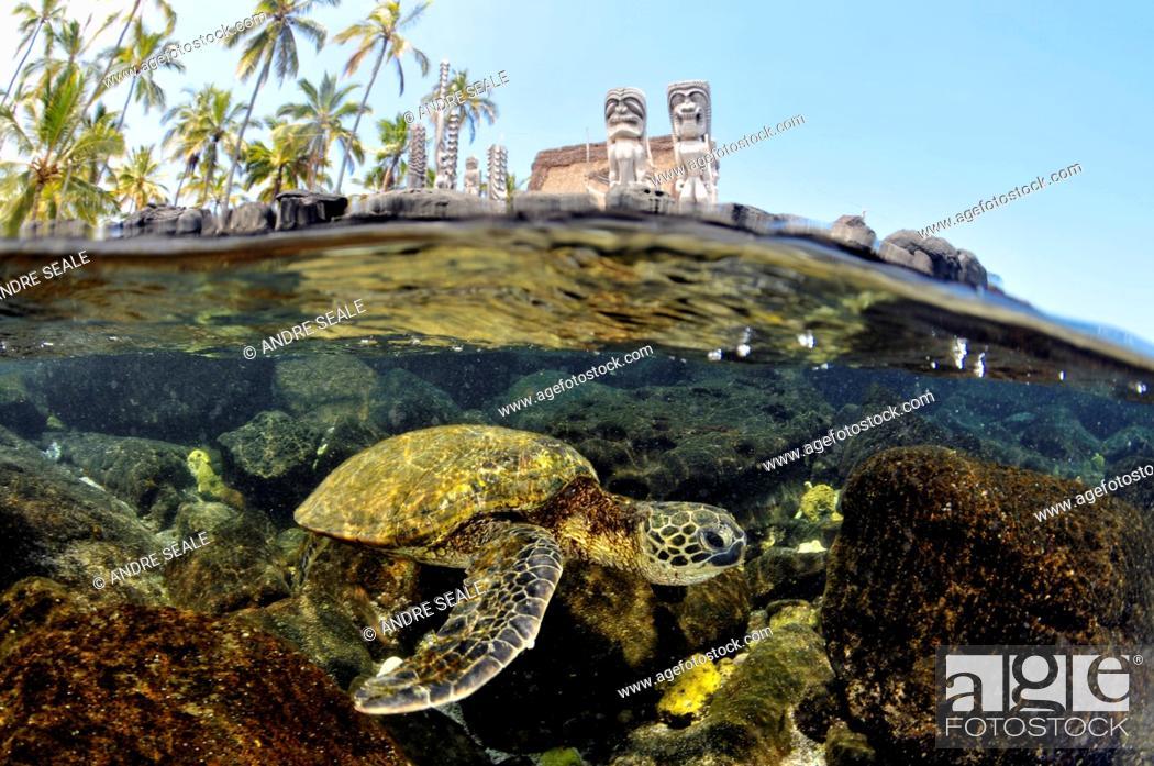 Stock Photo: Split image of Hawaiian traditional totens and Green sea turtle, Chelonia mydas, Honaunau Bay, Hawaii, North Pacific.