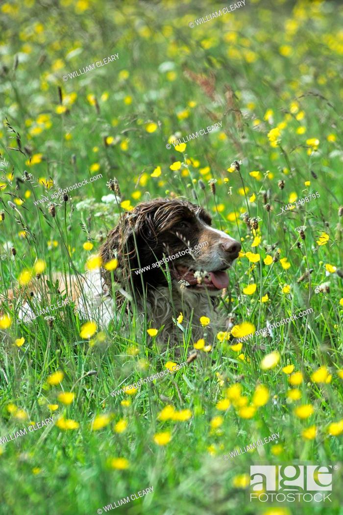 Stock Photo: A springer spaniel among buttercups.