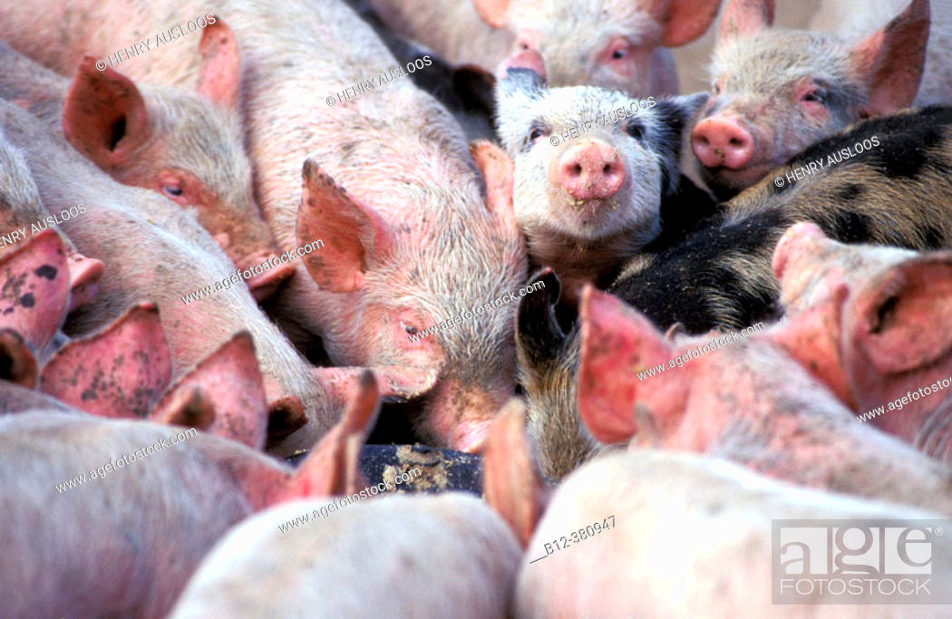 Stock Photo: Piglets. Eating.