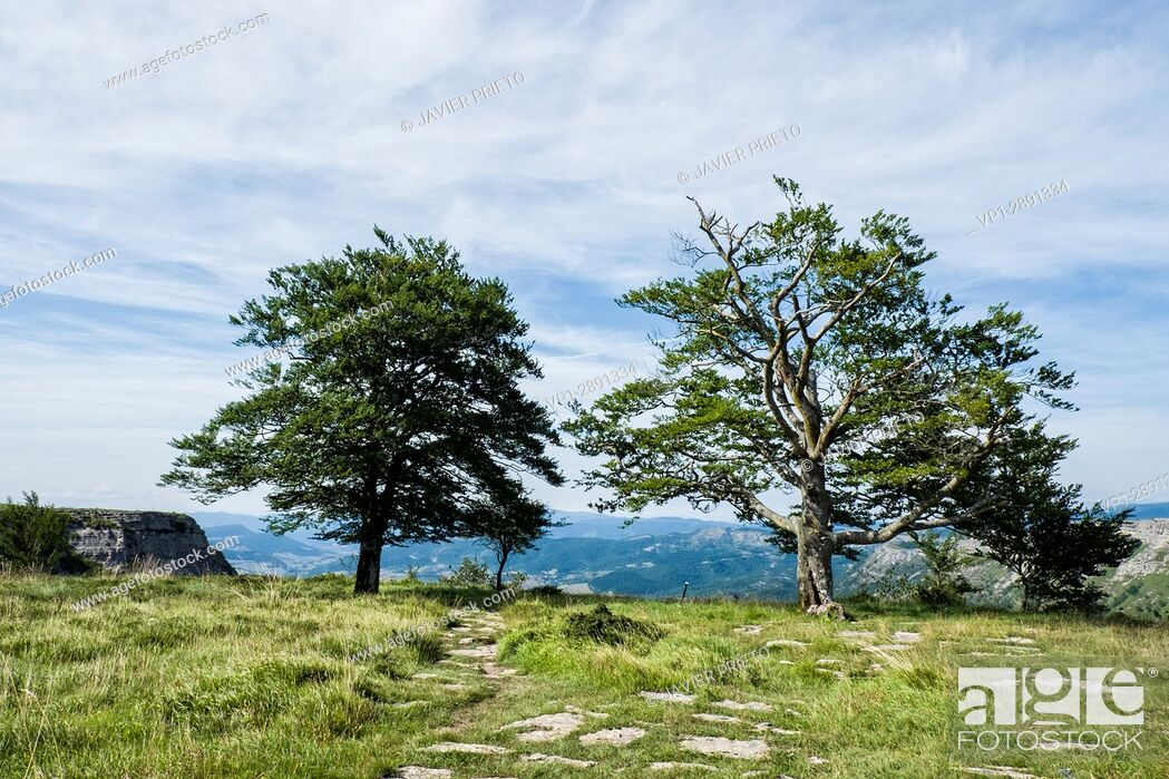 Stock Photo: Two trees next to the cliff on the Cutted Path. Natural monument of Monte Santiago. Burgos. Castilla y León. Spain.