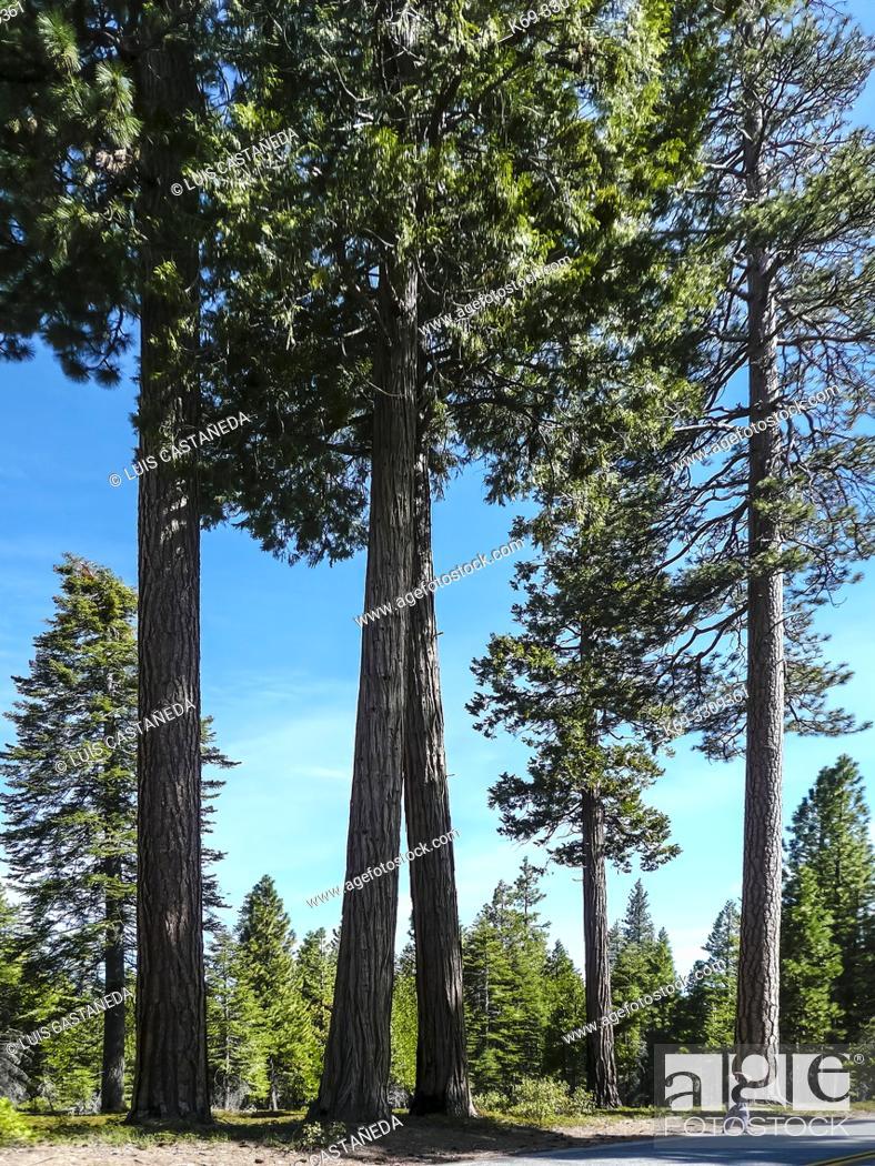 Stock Photo: Sequoias. Sequoia National Park. California. USA.