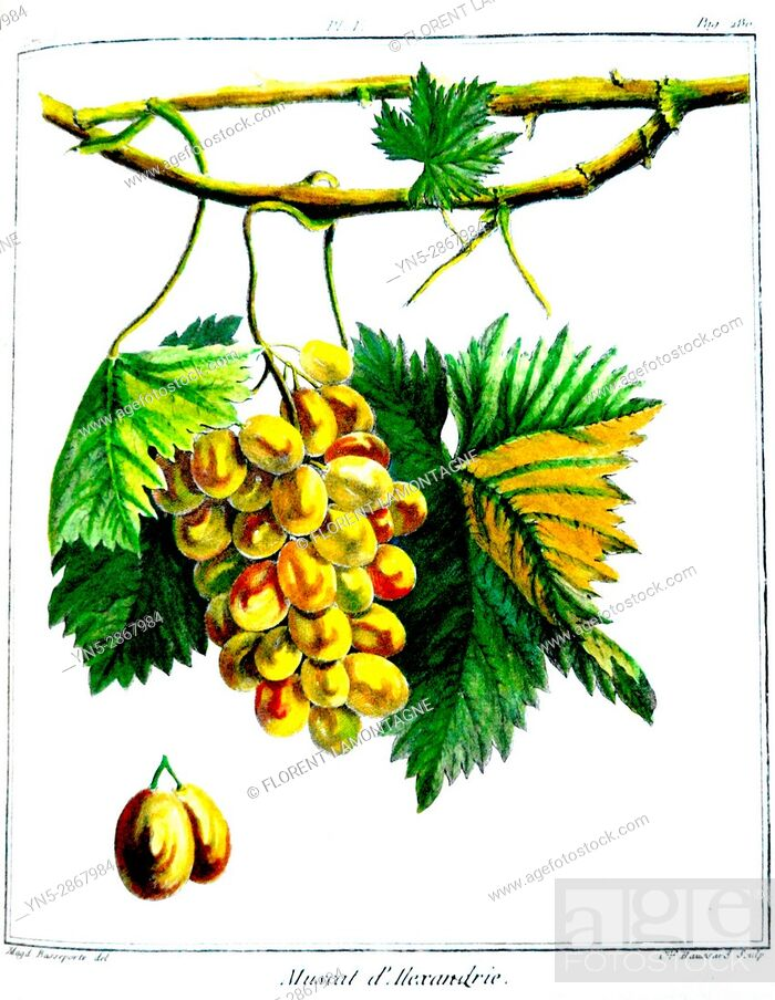 Stock Photo: Old botanical board of the grappe species Muscat d'Alexandrie or d'Espagne.