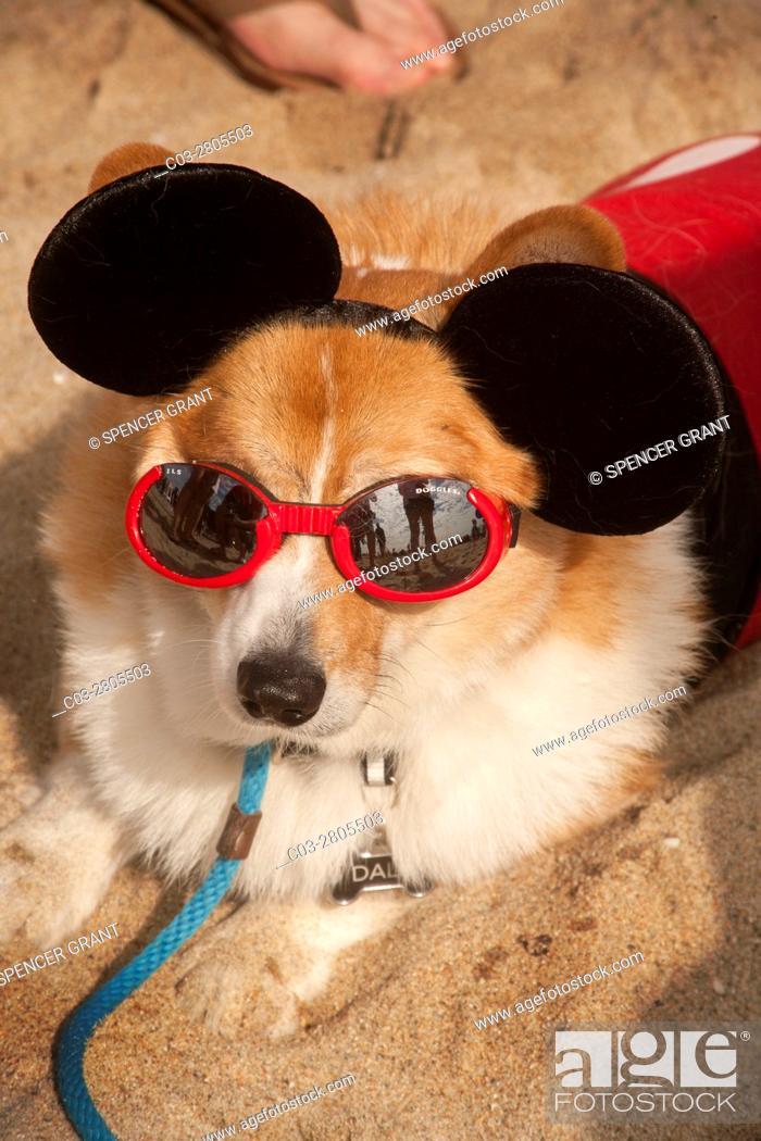 "Stock Photo: A Welsh Corgi dog wears Mickey Mouse ears and dog sunglasses called """"doggles"""" at a Corgi dog festival on the sand in Huntington Beach, CA."