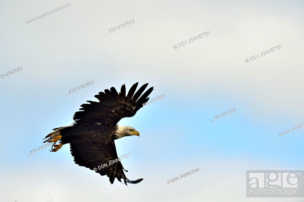 Imagen: Bald eagle (Haliaeetus eucocephalus), Yellowknife, Northwest Territories, Canada.