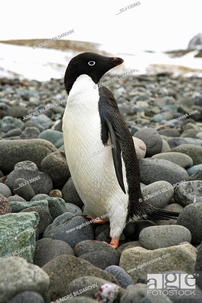 Stock Photo: AdÈlie Penguin - standing on stones / Pygoscelis adeliae.