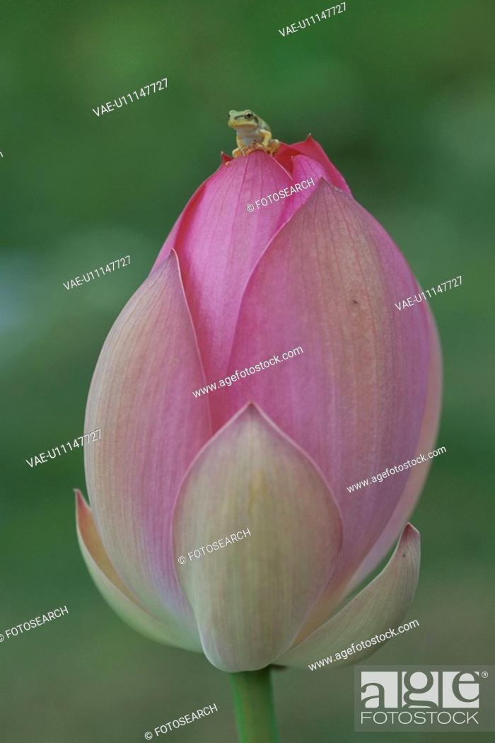 Stock Photo: A Lotus And A Tree Toad.