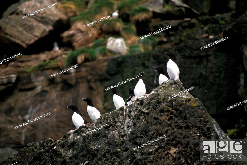 Stock Photo: ALCA TORDARAZORBILL - RAZOR-BILLED AUKGROUP ON CLIFFFOULA - SHETLAND.