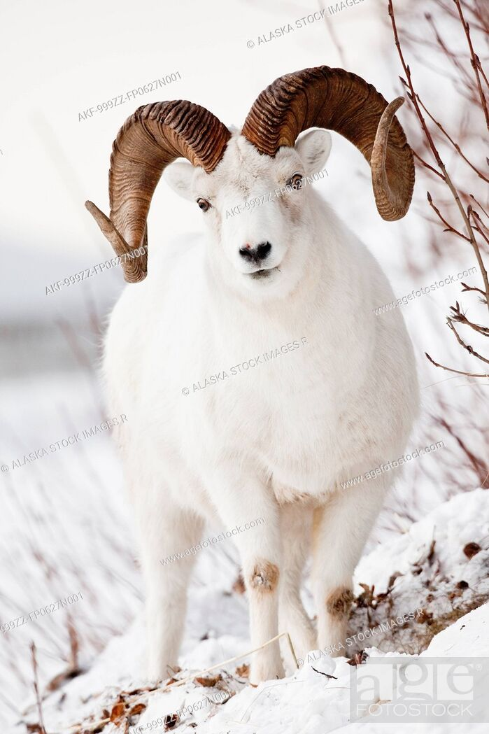 Stock Photo: Front view of a full-curl Dall sheep ram, Chugach mountains, Southcentral Alaska, Winter.