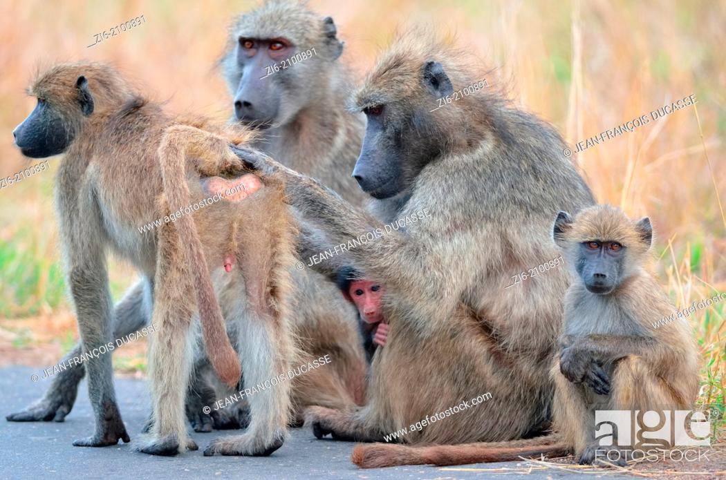 Stock Photo: Chacma baboon, Papio ursinus, mothers, young and baby, sitting on the road, Kruger National Park, South Africa.