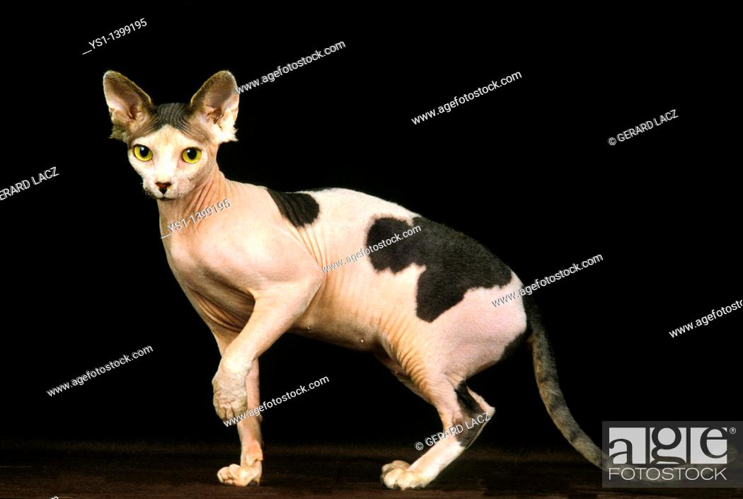 Stock Photo: Sphynx Domestic Cat, Adult against Black Background.